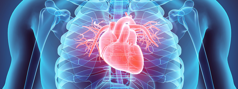 Three dimensional illustration of the human heart and chest.